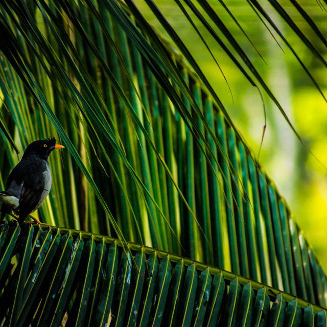 """Common Myna bird"" stock image"