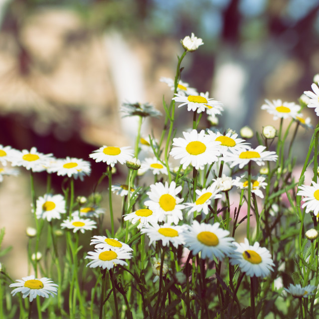 """Sunny chamomiles in the garden"" stock image"