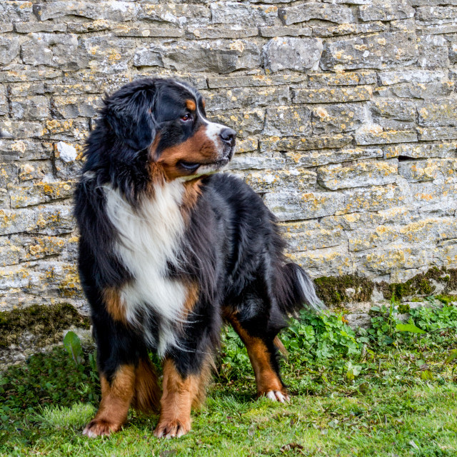 """Bernese Mountain Dog by Cotswold Stone Wall"" stock image"