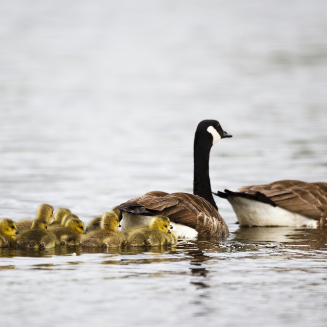 """""""Canada geese and goslings"""" stock image"""