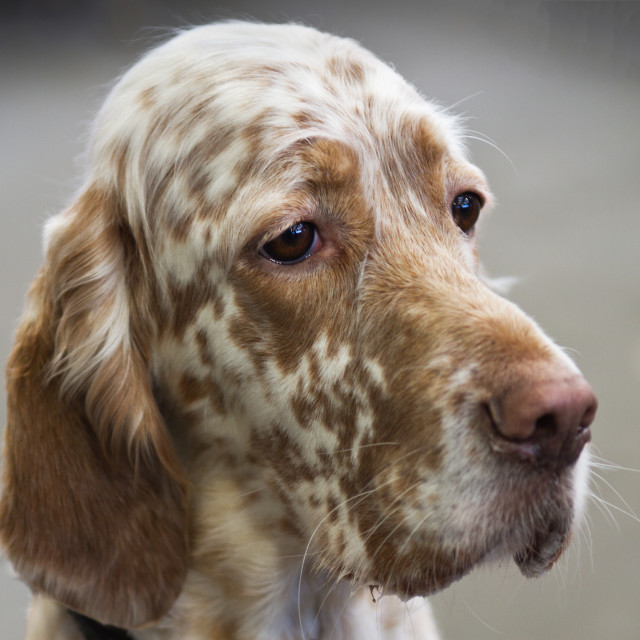 """English Setter Portrait"" stock image"