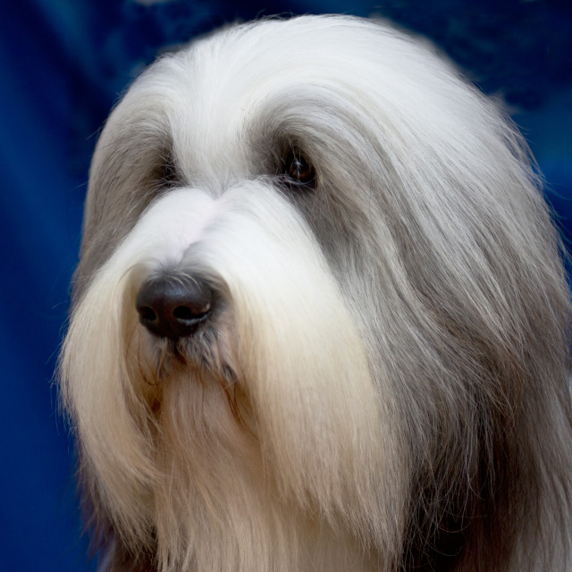 """Bearded Collie Head"" stock image"