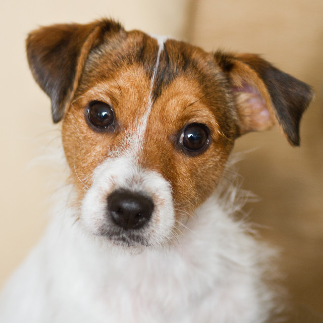 """Jack Russell Terrier"" stock image"