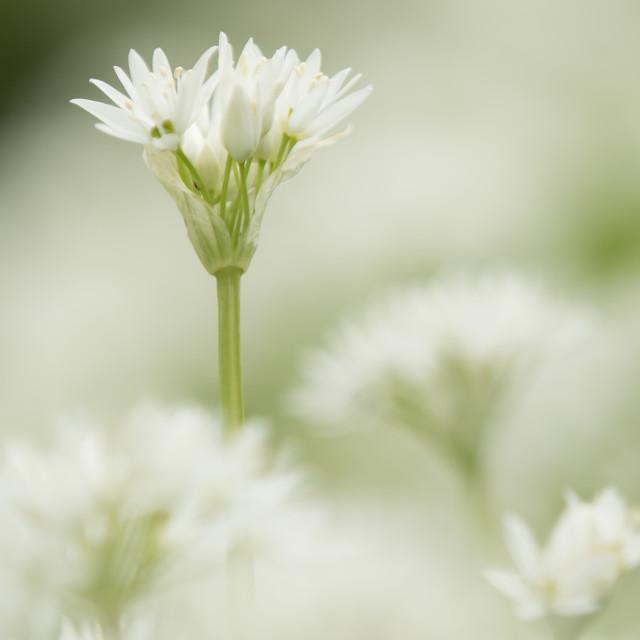"""Wild Garlic (Portrait)"" stock image"
