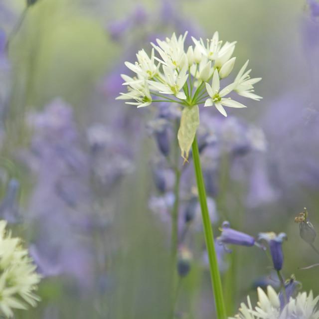 """Wild Garlic in Bluebells"" stock image"