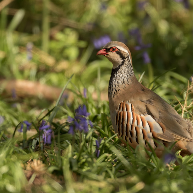 """Partridge in Bluebells"" stock image"