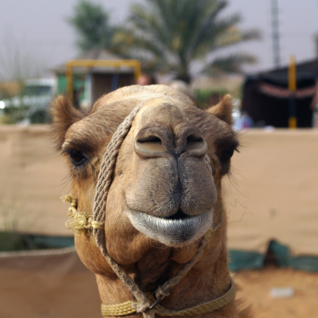 """Smiling camel"" stock image"