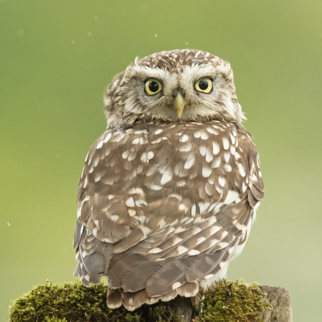 """Little Owl in the Rain"" stock image"