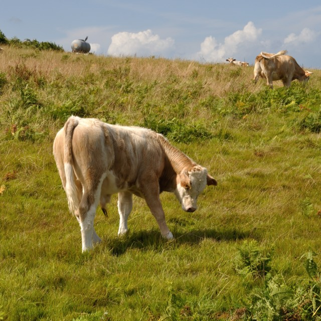 """Cows in meadows"" stock image"