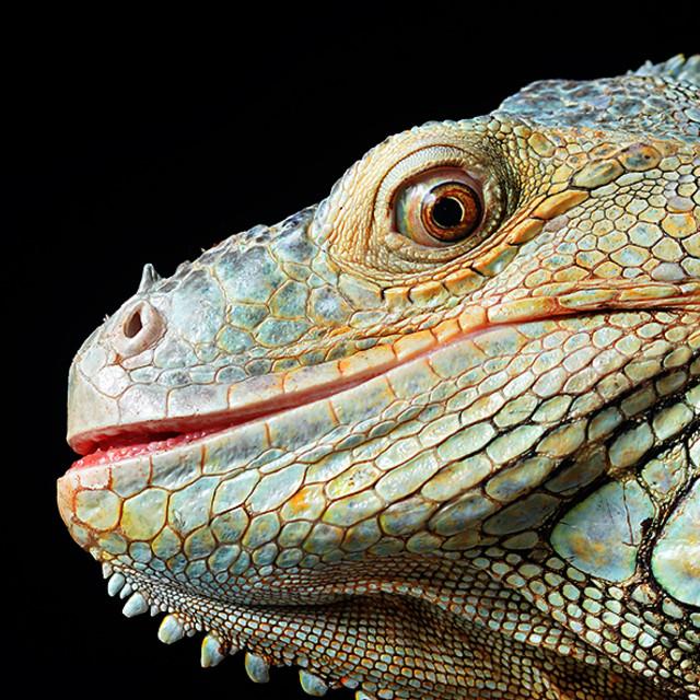 """""""Iguana Portrait"""" stock image"""
