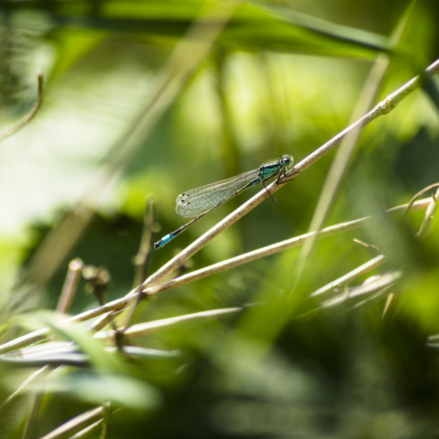 """Azure Tailed Damselfly"" stock image"