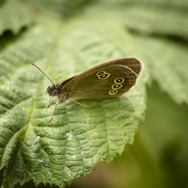 """""""Ringlet Butterfly Wings Closed"""" stock image"""