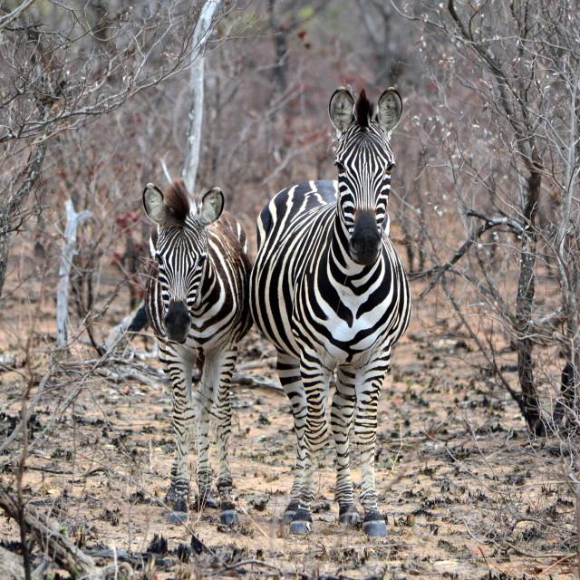 """""""Two Zebra"""" stock image"""