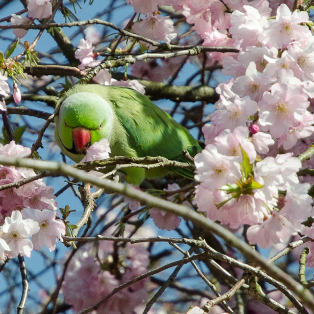 """Springtime parakeet"" stock image"