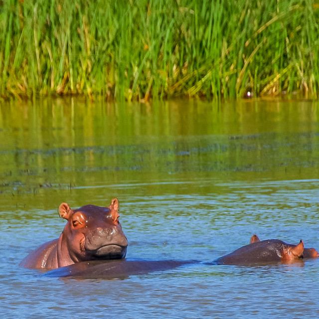 """Baby Hippo"" stock image"