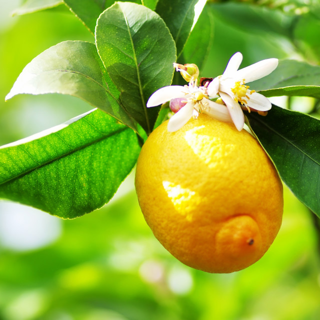 """Ripe lemon and flower hanging on tree."" stock image"