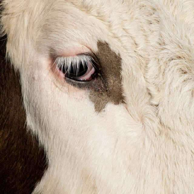 """Cow's Eye"" stock image"