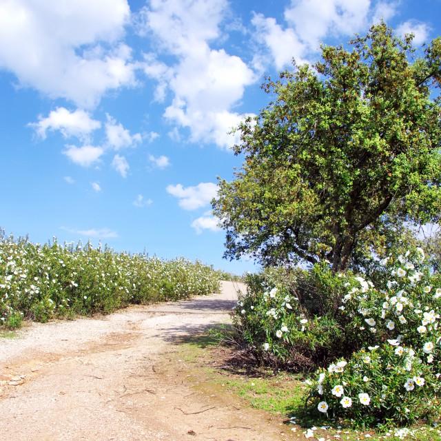 """Gum rockroses in the field of Alentejo, Portugal"" stock image"