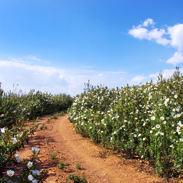 """Gum rockrose in the fields of Alentejo, Portugal"" stock image"