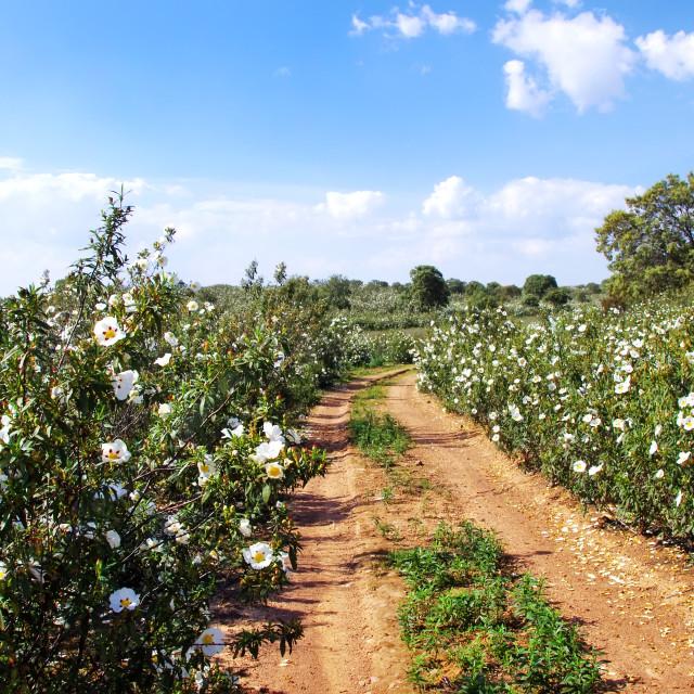 """Gum rockrose in the fields of Alentejo, Portugal"" stock image"