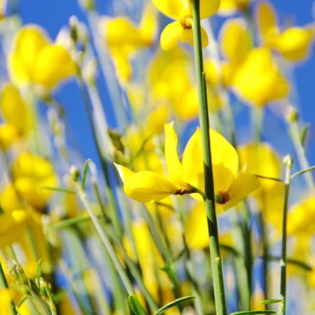 """Yellow flowers of wild genista."" stock image"