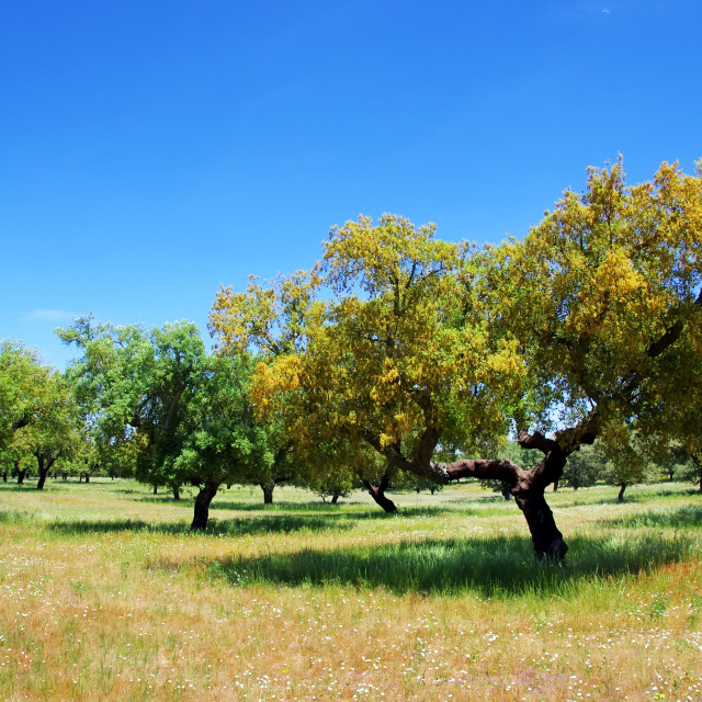 """cork oaks tree on field at Portugal"" stock image"
