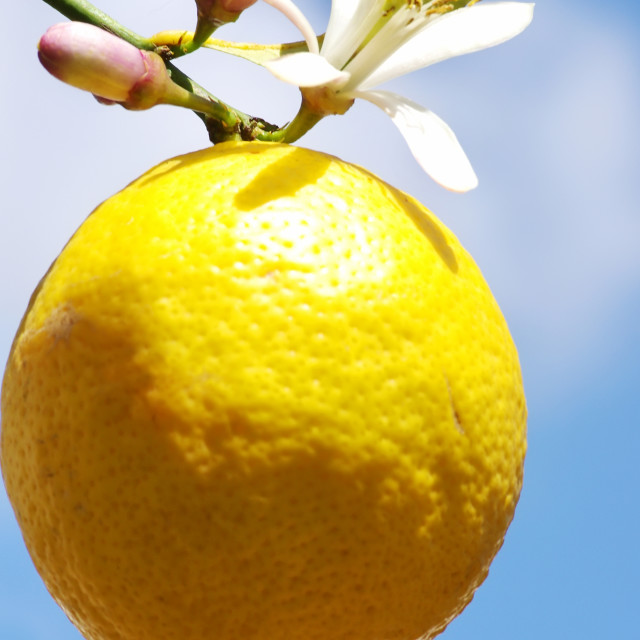 """Lemon on a branch, isolated on blue sky"" stock image"