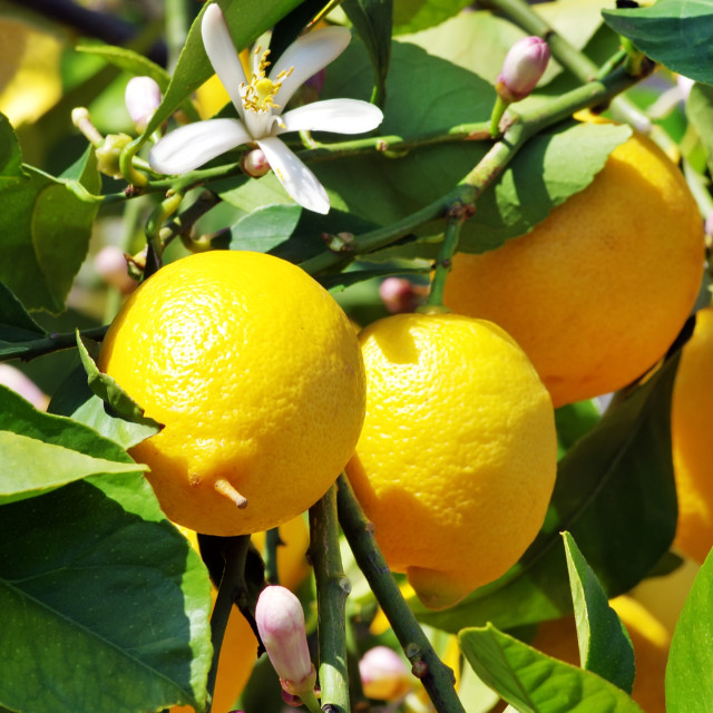 """Ripe lemons on green leaves"" stock image"