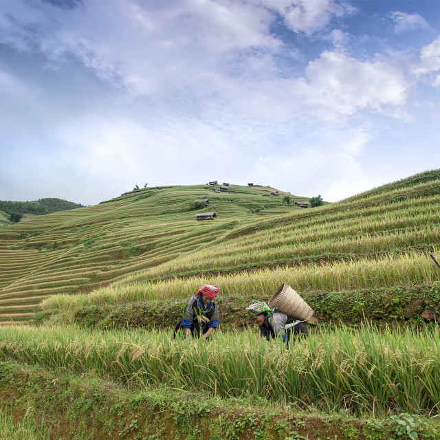 """Hmong women working on the terraced rice field"" stock image"