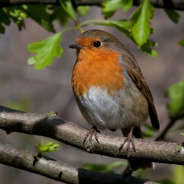 """Robin Sitting in a Tree"" stock image"
