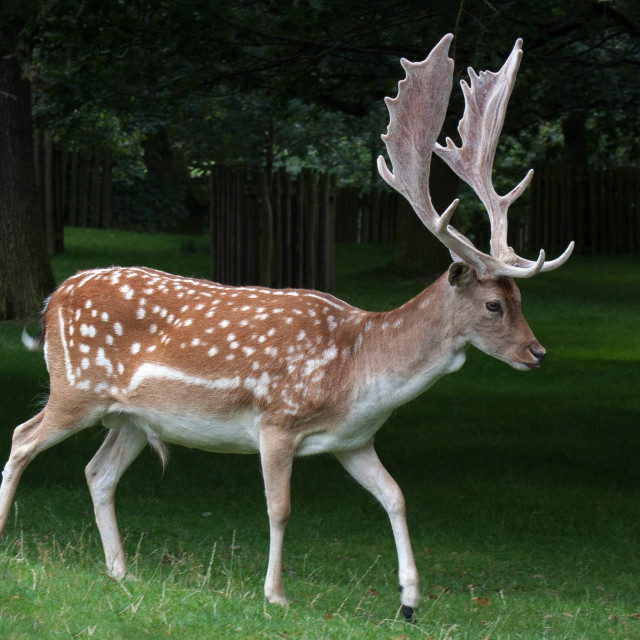 """Fallow Deer Stag in the Woods"" stock image"