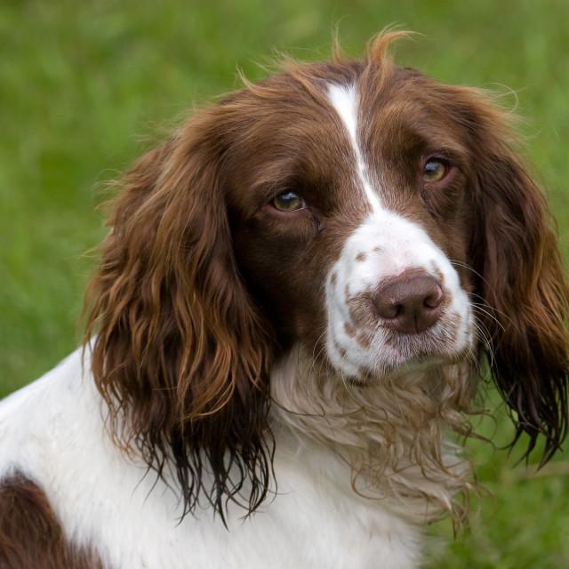 """Springer Spaniel Dog Closeup"" stock image"