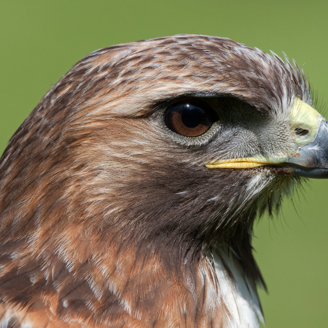 """Closeup of a Red-tailed Hawk"" stock image"