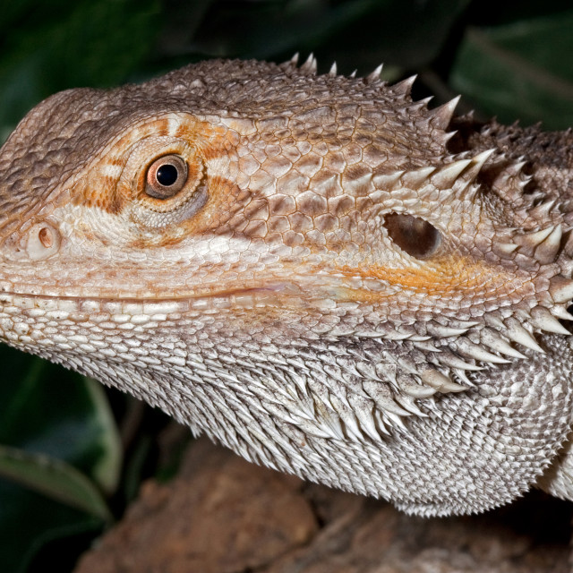 """Bearded Dragon Lizard Closeup"" stock image"