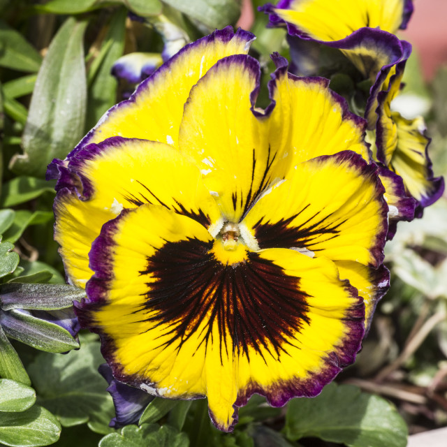 """Yellow Pansy"" stock image"