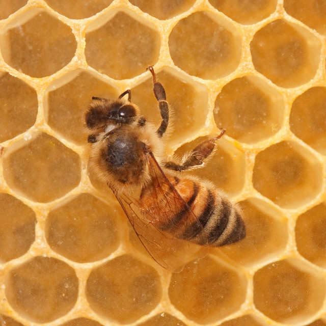 """Honey Bee on Honeycomb"" stock image"