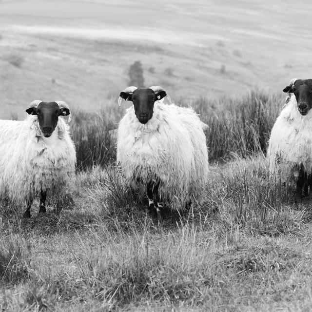 """A trio of Sheeps!"" stock image"