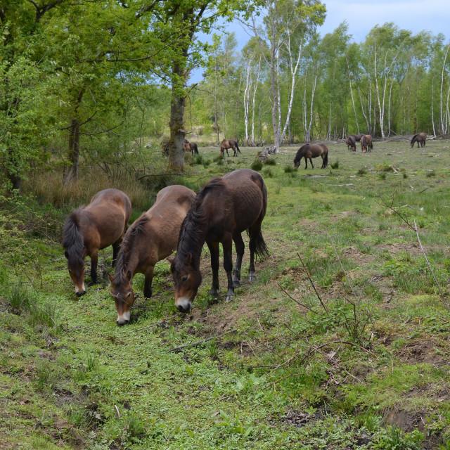 """""""Wild Exmoor ponies"""" stock image"""