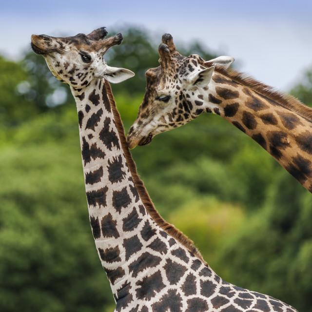 """Two Giraffes Share a Tender Moment."" stock image"
