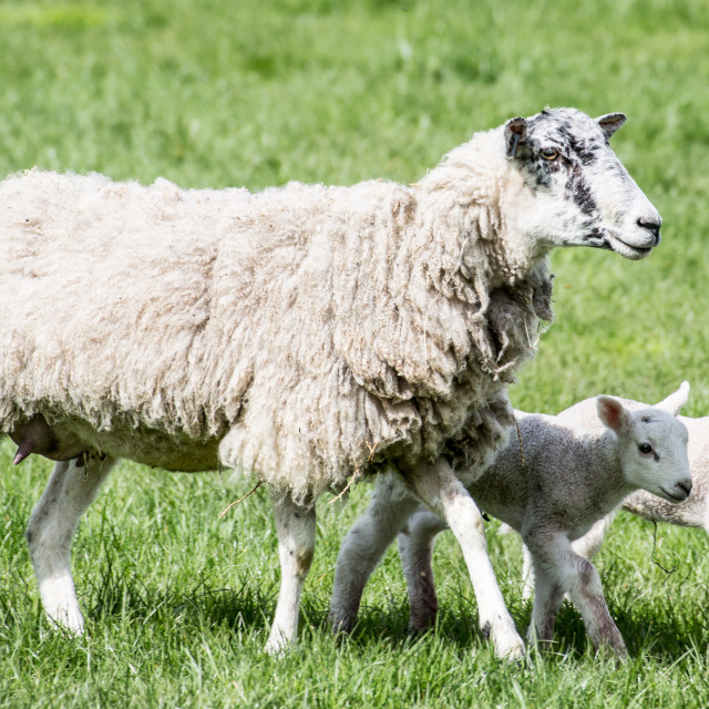 """Sheep and Spring Lambs"" stock image"
