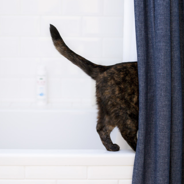 """""""Cat behind shower curtain"""" stock image"""
