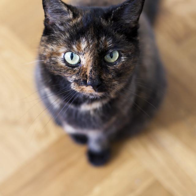 """Tortoise cat"" stock image"