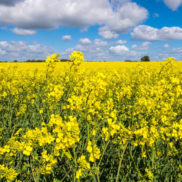 """Rape Seed Field"" stock image"
