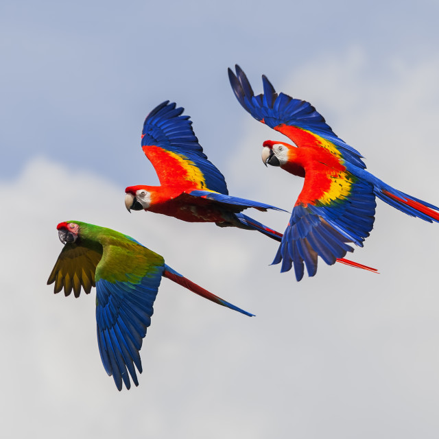 """Beautiful macaws in flight"" stock image"