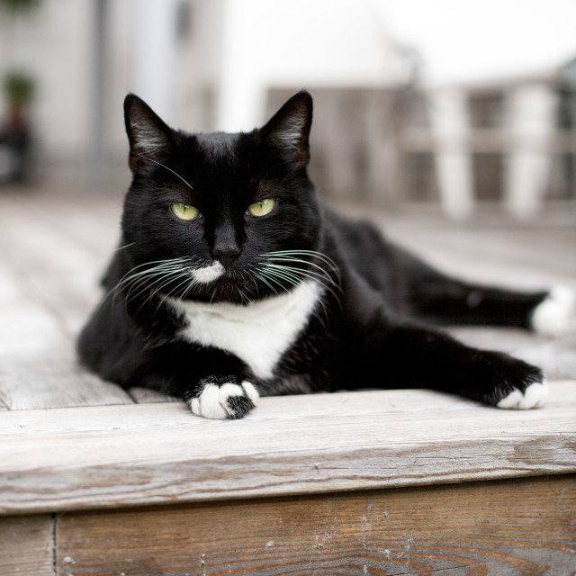 """Tuxedo cat on deck"" stock image"