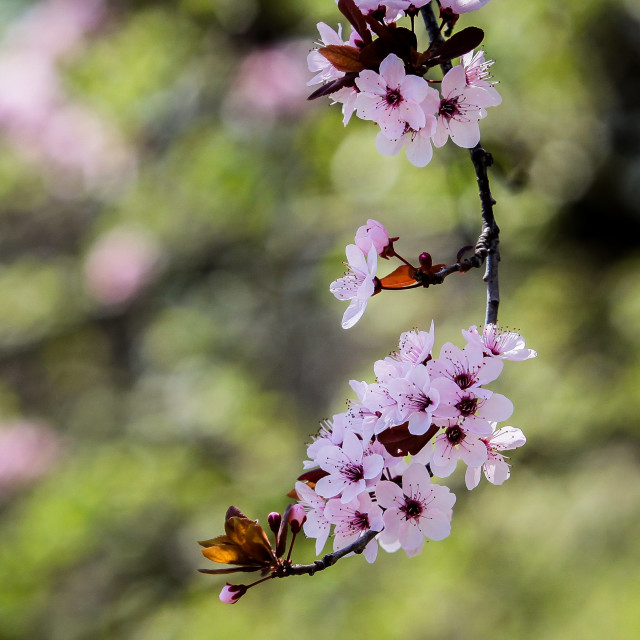"""Spring tree flowers"" stock image"