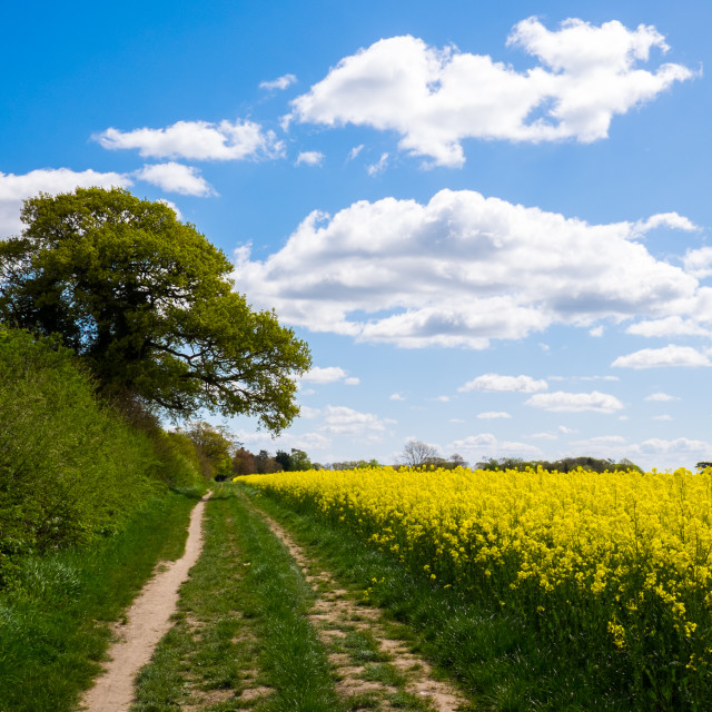 """Rape Seed Field"" stock image"
