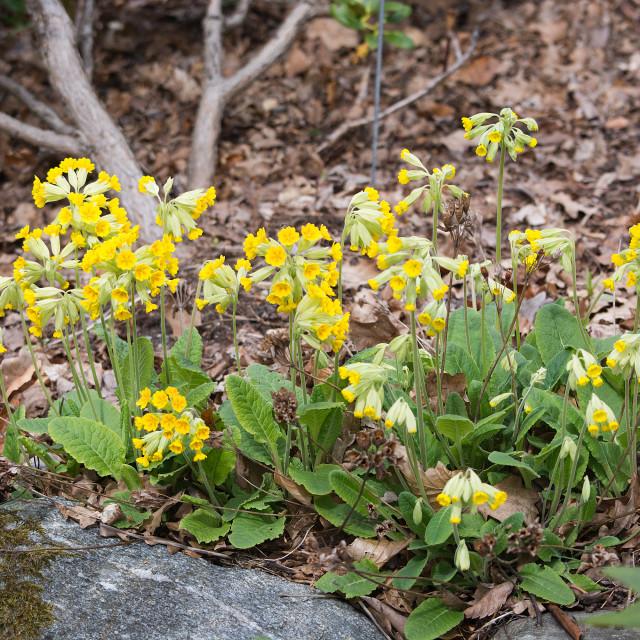 """Yellow primrose"" stock image"