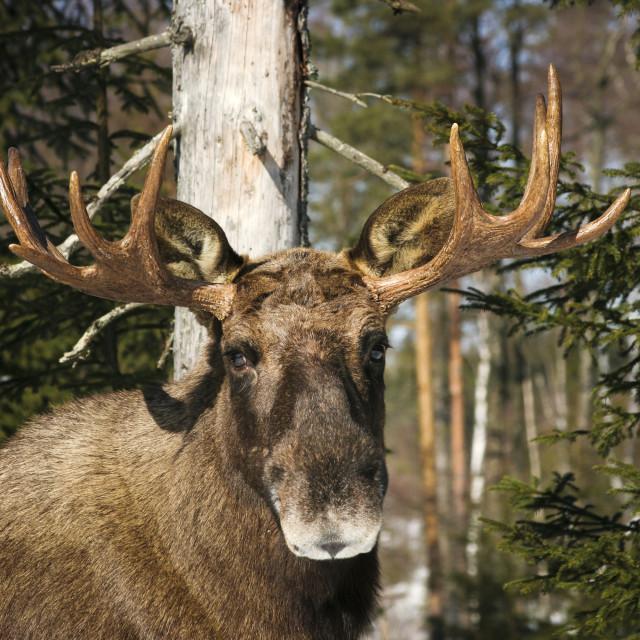 """""""Moose"""" stock image"""
