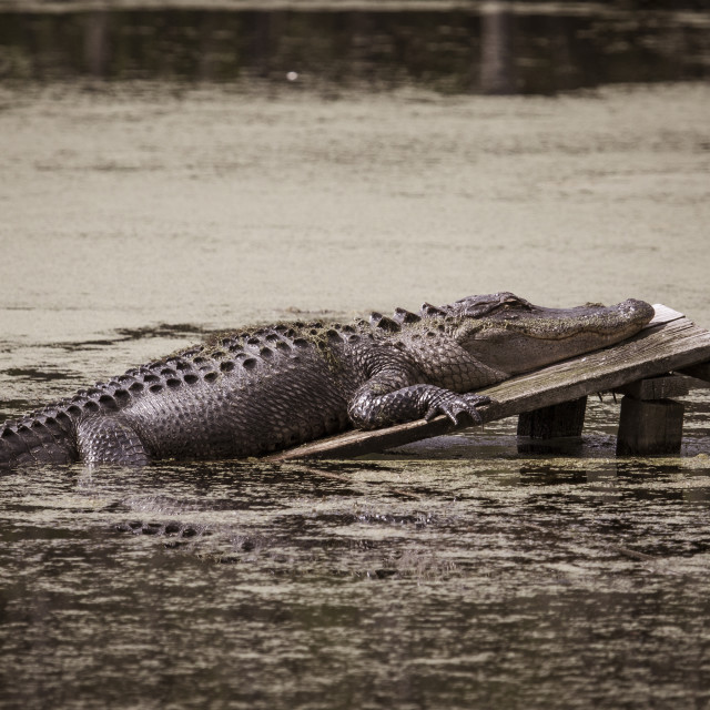 """Resting Alligator"" stock image"